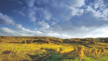 herbstlicher Anblick Weingarten bei Gumpoldskirchen