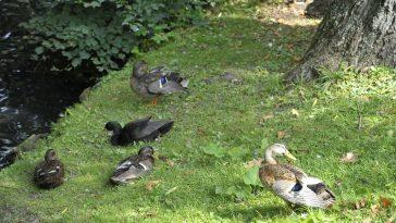 Enten auf der Wiese