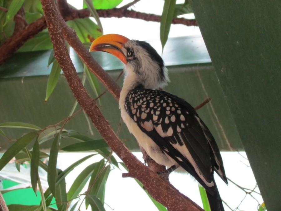 Vogel mit orangenfarbenen Schnabel und schwarz-weißem Federkleid
