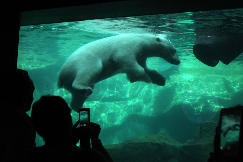visitors look as a polar bear (ursus maritimus) swimming underwater at schonbrunn zoo