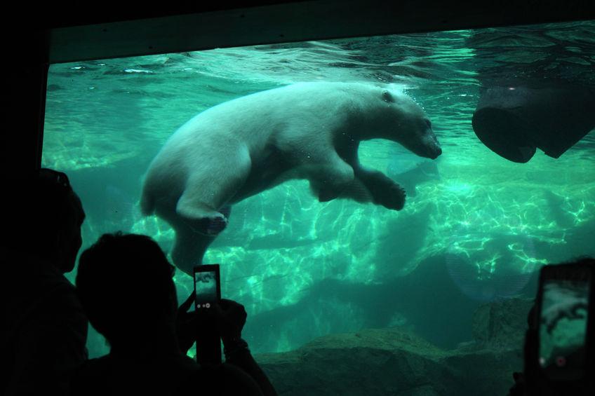 visitors look as a polar bear (ursus maritimus) swimming underwater at schonbrunn zoo