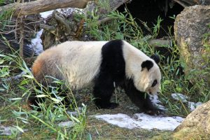 giant panda bear walking in vienna zoo