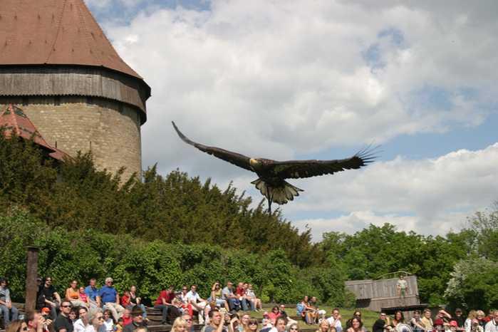 Adler fliegt über Publikum