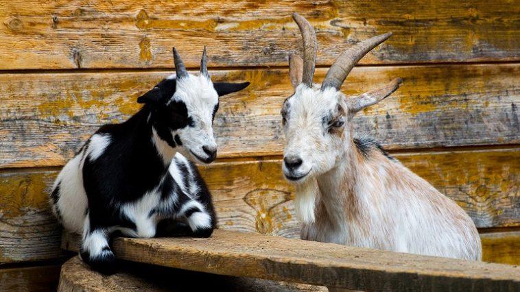 Zwei Ziegen sitzen vor einer Holzhütte