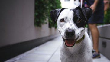 weißfarbiger Hund mit schwarzen Flecken in der Stadtgasse
