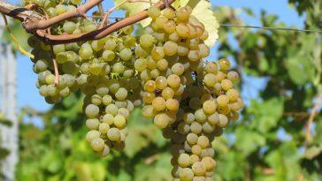 Weintrauben auf Weinreben