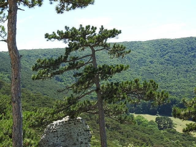 Föhre mit großem Waldgebiet dahinter.