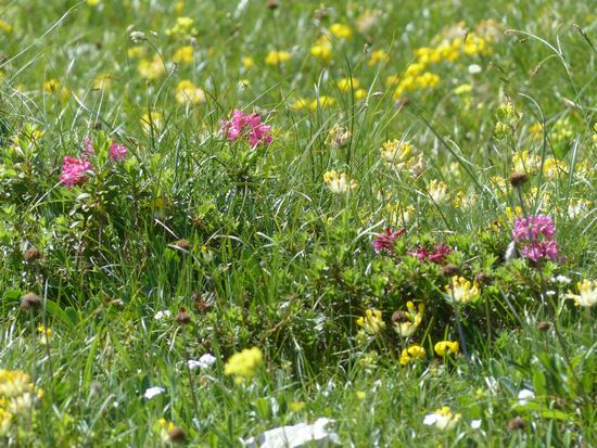 viele Blumen auf einer Almwiese