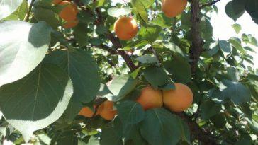 reife Früchte auf dem Marillenbaum