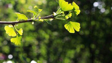 Die Blätter des Gingko-Baums, zu sehen im Botanischen Garten