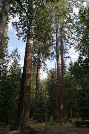 mehrere Mammutbäume im Wald des Stiftes Göttweig