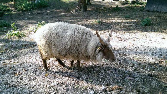 Ein Schaf im Tierpark